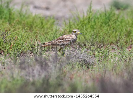 Unusual photos of an unusual bird Eurasian stone-curlew. The adult bird is photographed in a habitat habitat and demonstrates excellent camouflage. #1455264554