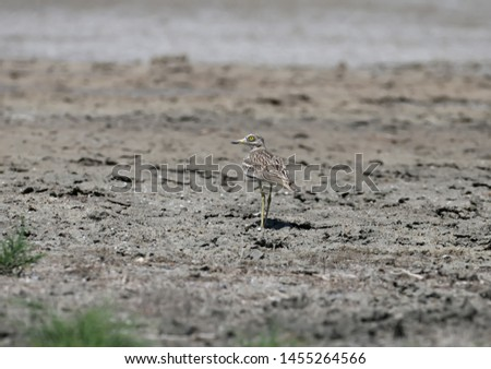 Unusual photos of an unusual bird Eurasian stone-curlew. The adult bird is photographed in a habitat habitat and demonstrates excellent camouflage. #1455264566