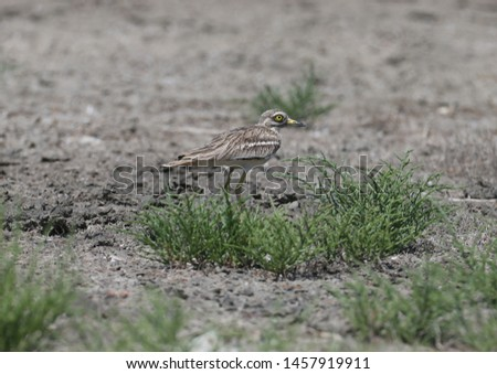 Unusual photos of an unusual bird Eurasian stone-curlew. The adult bird is photographed in a habitat habitat and demonstrates excellent camouflage. #1457919911