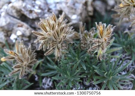unusual plants of Crimea