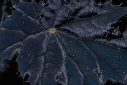 Unusual shiny fluffy black leaf background. Abstract dark close-up home plant part with fluffy surface
