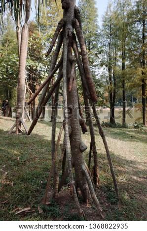 Unusual tree roots An unusual tree