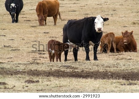 Unweaned calf and cow with another calf and cow to the side