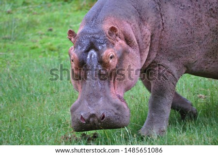 Up close (close up) and personal with a hippopotamus