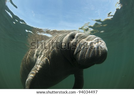 up close face of manatee in Florida spring