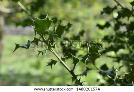 Up close look at holly leaves and a holly bush.