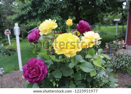 Up close pictures of a yellow and purple rose tree.