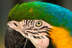 UP CLOSE PROFILE SHOT OF A MCCAW'S FACE WITH BLUE GREEN AND YELLOW  FEATHERS AND A VIVID EYE