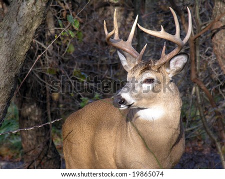 Up close to a whitetail deer buck.
