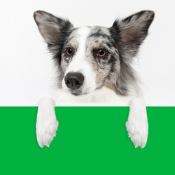 Up close you can see the dog's head with its paws on a green color imitating a sheet of paper. Purebred Border Collie dog in shades of white and black, and long and fine hair. An excellent herding dog