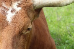 Upclose color photo of a brown and white Texas Longhorn