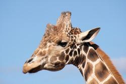 Upclose picture of a giraffe