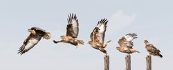 upland buzzard takeoff, five moments, qinghai province, China