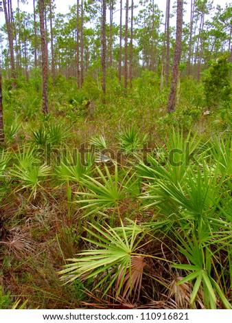 Upland Forest Pines with Saw Palmetto, Everglades National Park, Florida, USA