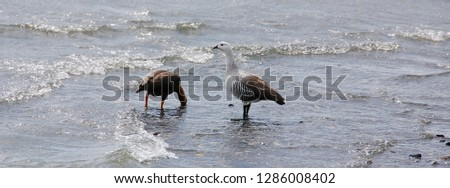 Upland goose or Magellan Goose (Chloephaga picta) is a sheldgoose of the shelduck-sheldgoose subfamily of the Anatidae, the biological family that includes the ducks and most duck-like waterfowl  #1286008402