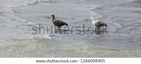 Upland goose or Magellan Goose (Chloephaga picta) is a sheldgoose of the shelduck-sheldgoose subfamily of the Anatidae, the biological family that includes the ducks and most duck-like waterfowl  #1286008405
