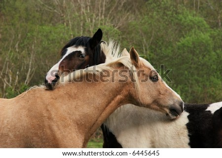 Upper bodies of two horses, one brown and one black and white,  with their heads resting on each other in a gesture of love and friendship. - stock photo
