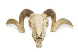 Upper view ram skull
