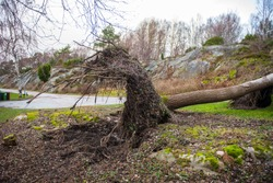 Uprooted tree in a grave yard.