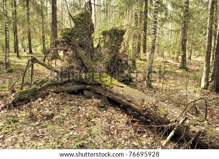 Uprooted trees. Fallen tree in the forest. Forest landscape. The roots of the tree. Old big tree. Bears in the woods. Shishkin's paintings.