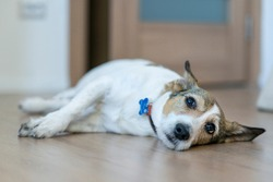 Upset ill sick dog is lying on the floor with a sad look, suffering from pain, disease. Big lonely bored dog is waiting, missing his owner at home.
