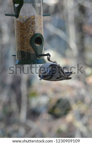 Upside Down Nuthatch #1230909109