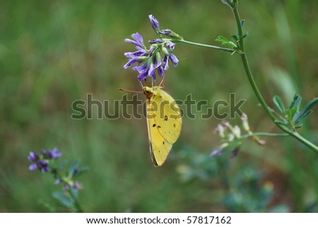 Upside Down Yellow Butterfly