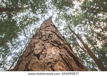 Upward close-up view at the pine tree crown