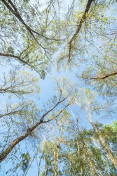 Upward perspective view of tall oak trees with green yellow leaves on a winter clear blue sky wallpaper. Tree tops converging into the sky. Nature green wood forest,  canopy of green trees background.