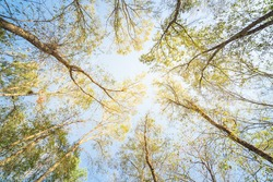 Upward perspective view of tall oak trees with green yellow leaves with backlit sunlight wallpaper. Tree tops converging into the sky. Nature green wood forest,  canopy of green trees background.