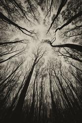upward view in a dark spooky forest sepia