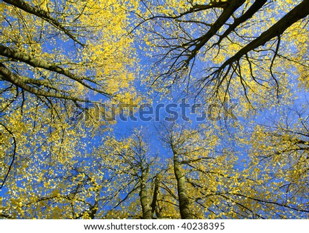 Upward view of autumn trees with yellow leaves against blue sky #40238395