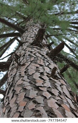 UPWARD VIEW OF PINE TREE TRUNK AND NEEDLES #797784547