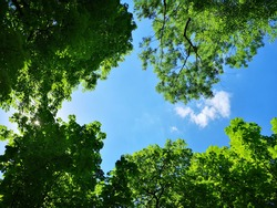 Upward view to green trees crowns and blue sky at sunny day