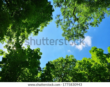 Upward view to green trees crowns and blue sky at sunny day Stock photo ©