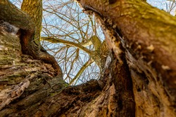 Upward view to high tree from inside of trunk of old tree