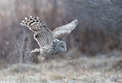 Ural Owl flying near a forest.