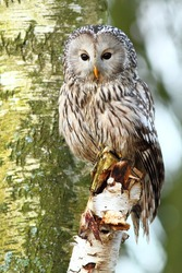Ural Owl from local hawk Centre