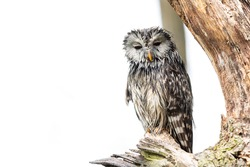 Ural owl in the tree