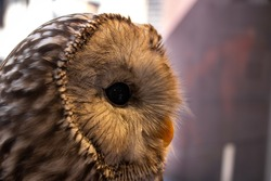 Ural owl, profile photo of Ural Owl, Ural owl from the right, closup photo of Ural owl