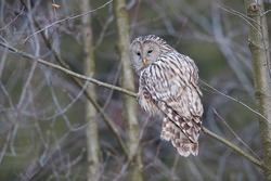 Ural Owl standing on a tree. The Ural Owl is smaller than the Great Grey Owl, and much larger than the Tawny Owl, which it superficially resembles.