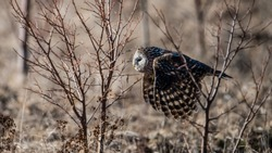 Ural owl (Strix uralensis) flying between the bushes after catching a prey with a defocused background