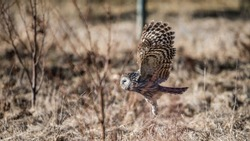 Ural owl (Strix uralensis) flying close to the ground showing the feathered tarsus with a defocused background