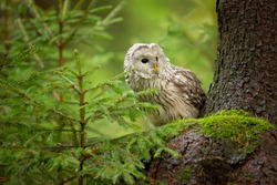 Ural owl (Strix uralensis) is a medium-sized nocturnal owl of the genus Strix, with up to 15 subspecies found in Europe and northern Asia