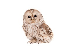 Ural Owl (Strix uralensis), isolated on the white background