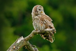 Ural Owl, Strix uralensis, sitting on tree branch, in green leaves oak forest, Norway. Wildlife scene from nature. Habitat with wild bird. Young Ural owl in green wood.