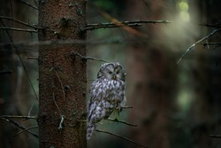 Ural Owl, Strix uralensis, sitting on tree branch, in green leaves oak forest, Wildlife scene from nature. Habitat with wild bird. Owl in the spruce tree forest habitat, Sumava NP,  Czech Republic.