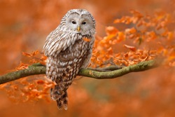 Ural Owl, Strix uralensis, sitting on tree branch in orange leaves oak forest, Sweden.