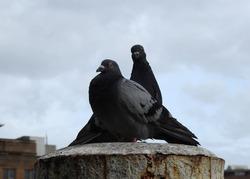 Urban feral pigeons, Circular Quay, Sydney, Australia