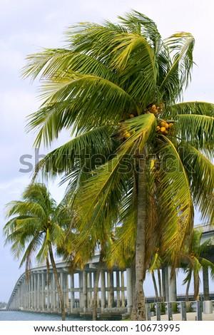 urban florida scene, miami palms and causeway bridge